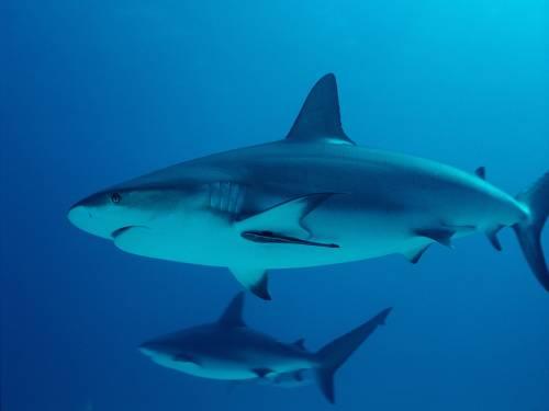 Две акулы
